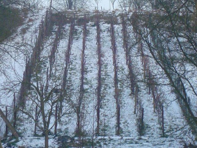cepages rouges clos du renard 11 Janvier 2009