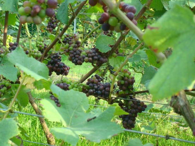 pinot noir 01-09-2008