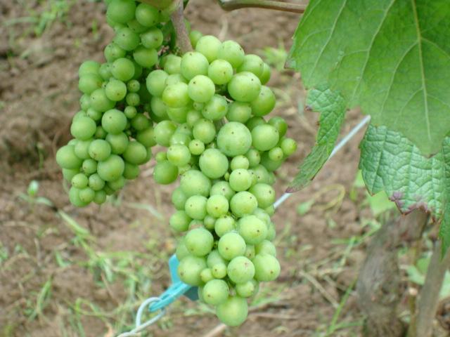 grappe pinot noir 09-08-08