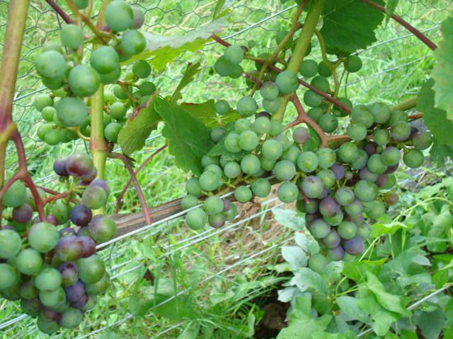 grappe rondo 09-08-08