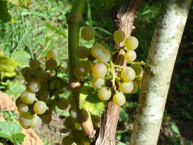 grappes solaris 30 aout 2009