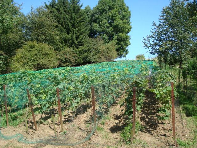 vignoble rouge avec filets  20-08-09